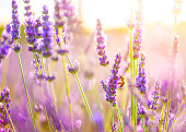 istock Close-up of a bee in lavender field in Provence, France. 155446492