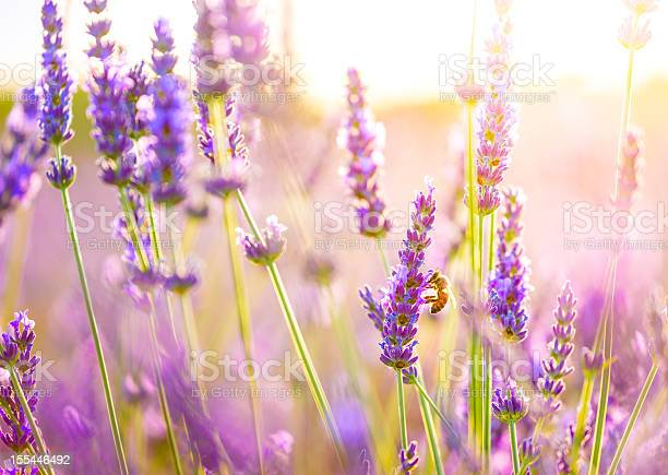 Photo of Close-up of a bee in lavender field in Provence, France.