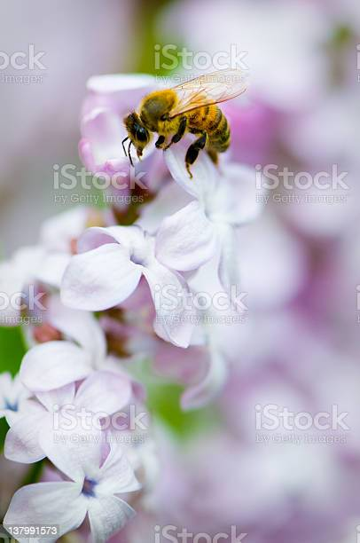 Photo of Close-up of a bee on lilac flower head