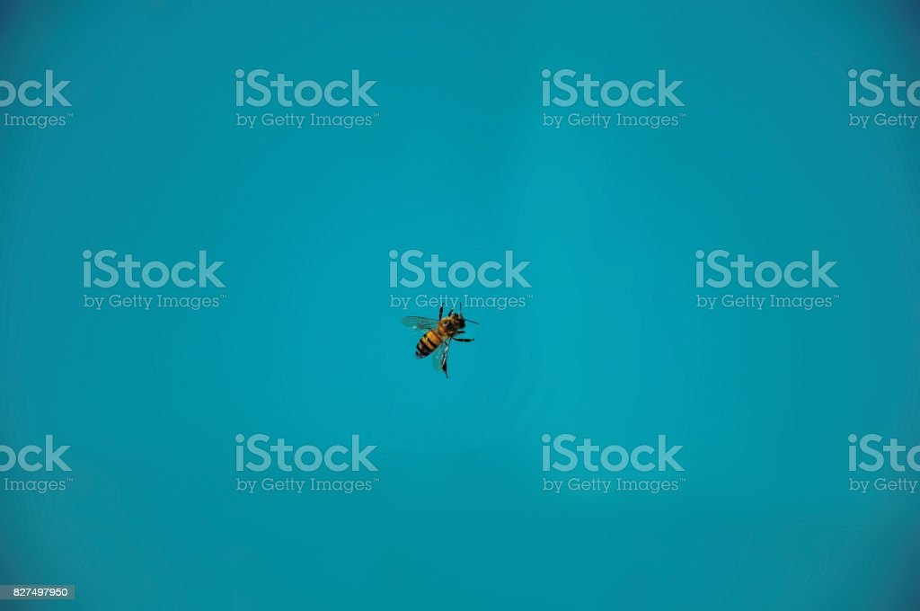 Close-up of a bee on top of the water, near Monte Alegre do Sul. stock photo