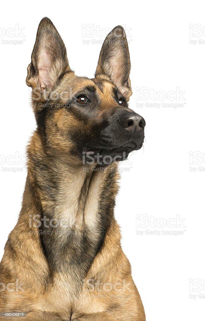 Close-up of a Belgian Shepherd Dog, 1 year old stock photo