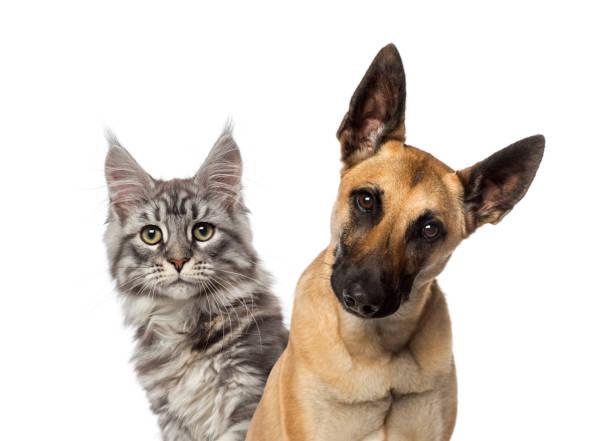 Closeup of a belgian shepherd dog and a cat picture id1068752266?b=1&k=6&m=1068752266&s=612x612&w=0&h=1k9z uqllu6bkkeqojkphx7ef3h1keiklhuqvwvjmqe=