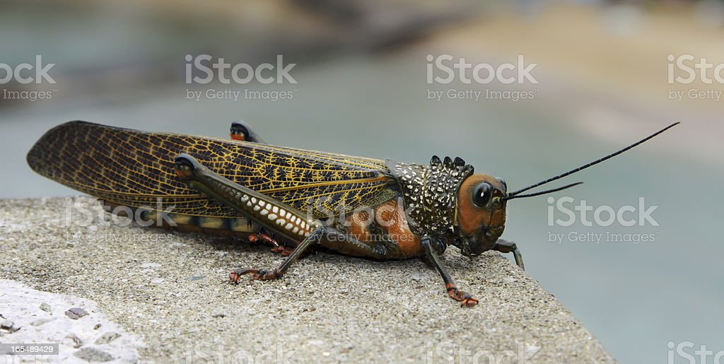 Close-up of a big Grasshopper royalty-free stock photo