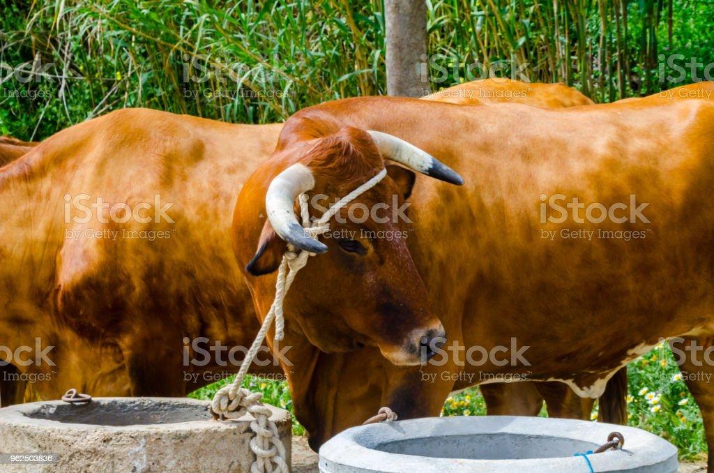 closeup de bois grande amarrada com uma corda a um cavado, animal de fazenda - Foto de stock de Agricultura royalty-free