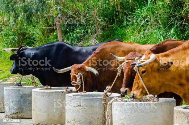 Foto de Closeup De Bois Grande Amarrada Com Uma Corda A Um Cavado Animal De Fazenda e mais fotos de stock de Agricultura