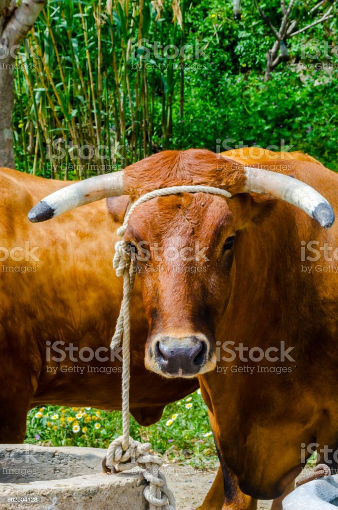 closeup of a big oxen tied with a rope to a trough, farm animal - Royalty-free Agriculture Stock Photo