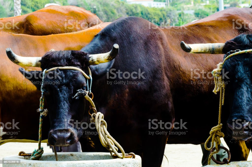 closeup of a big oxen tied with a rope to a trough, farm animal, - Royalty-free Agriculture Stock Photo