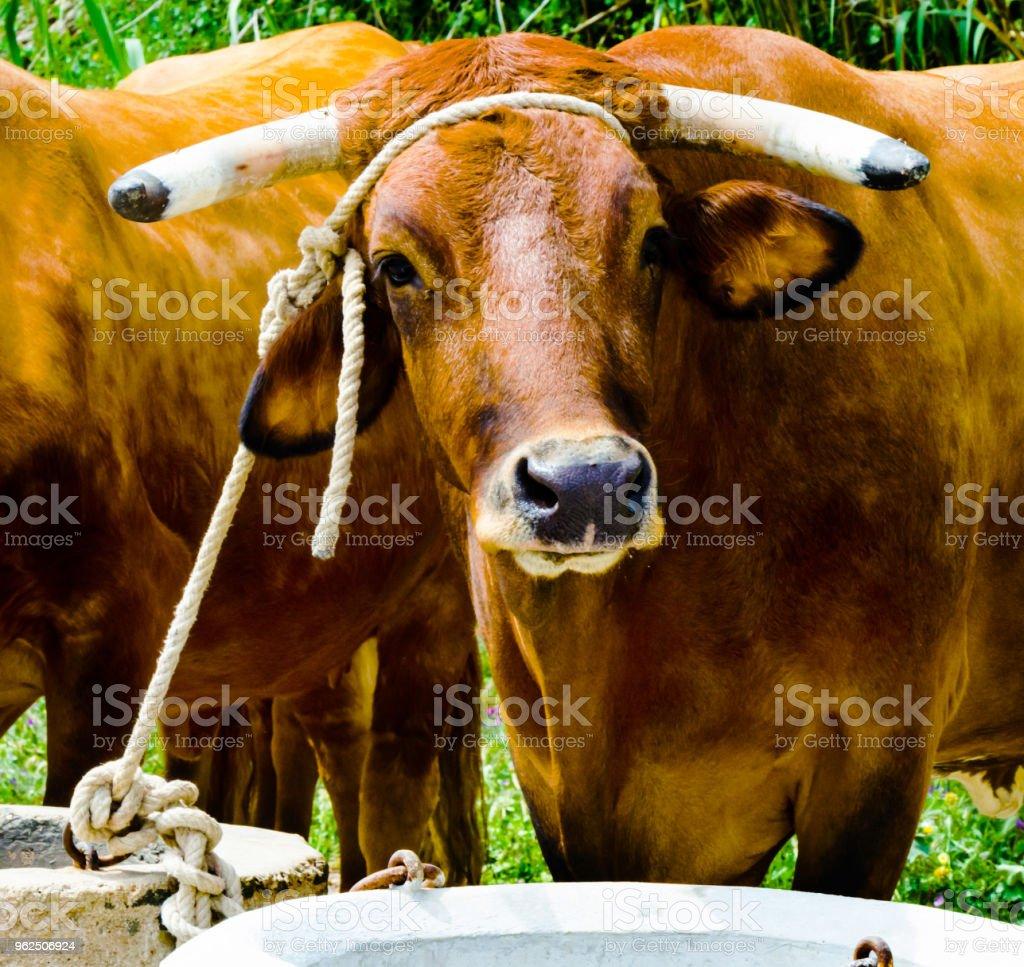 closeup de bois grande amarrada com uma corda a um cavado, animal de fazenda, - Foto de stock de Agricultura royalty-free