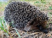 istock Close-up of a big prickly hedgehog in the garden. 1256658418