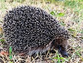 istock Close-up of a big prickly hedgehog in the garden. 1256658978