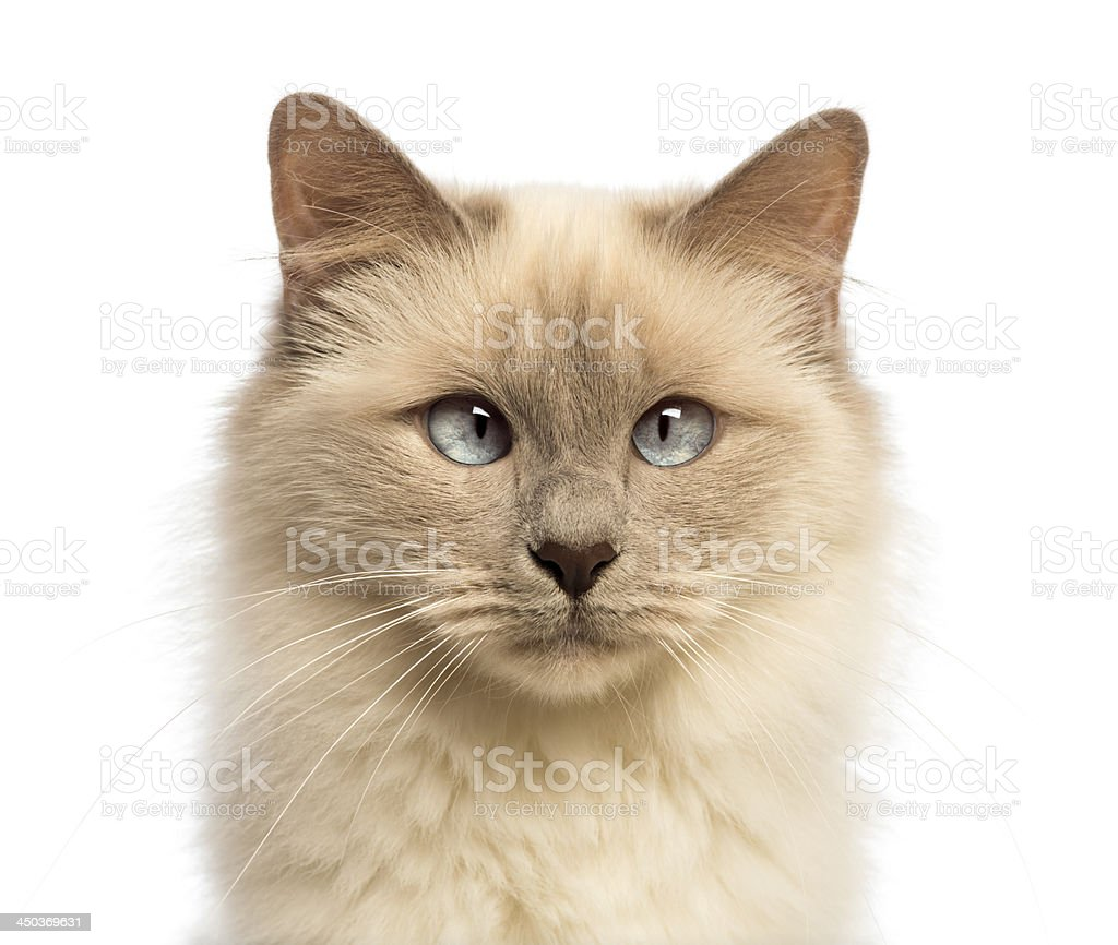 Close-up of a Birman cat looking at camera, crossed-eyes stock photo
