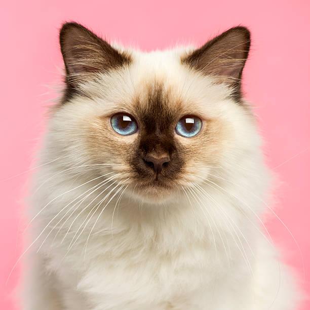 Closeup of a birman kitten looking at the camera picture id479970875?b=1&k=6&m=479970875&s=612x612&w=0&h=qofabllcmpe7jq9viu3tqt6zydrkb5owor7 d2rowjq=