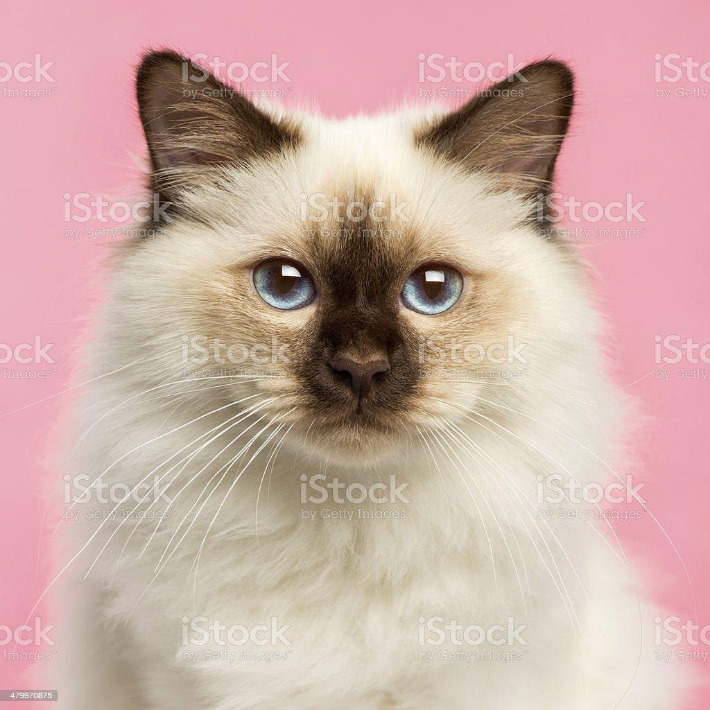 Close-up of a Birman kitten looking at the camera stock photo
