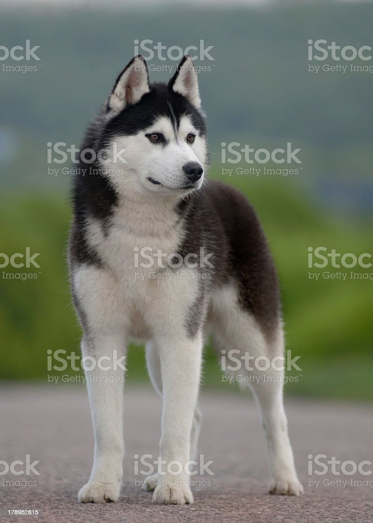 Close-up of a black and gray husky standing outdoors royalty-free stock photo