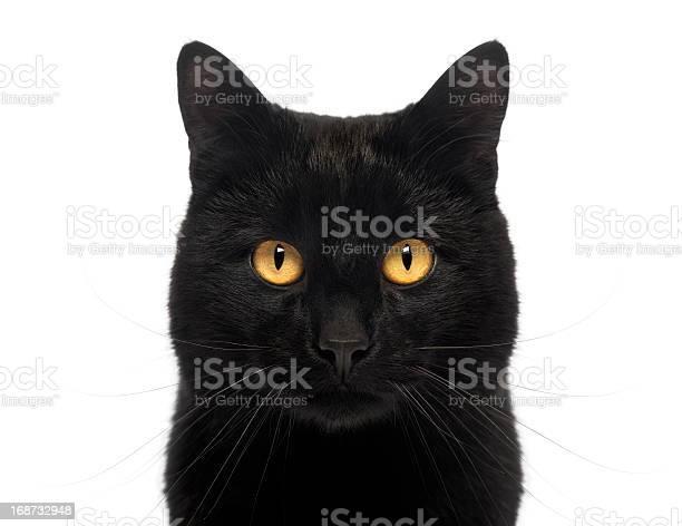 Closeup of a black cat looking at the camera picture id168732948?b=1&k=6&m=168732948&s=612x612&h=6gwsawvitqc0efji3owu rumlay1ldescccuasifqjg=