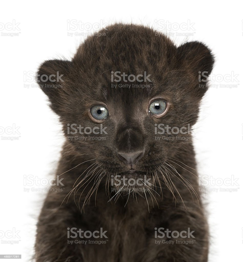 Close-up of a Black Leopard cub, 3 weeks old, isolated royalty-free stock photo