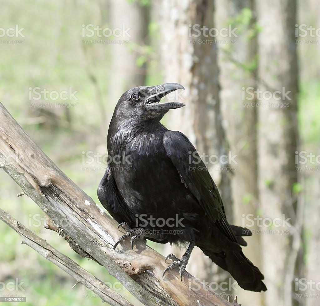 Close-up of a black raven sitting on a branch in the forest stock photo