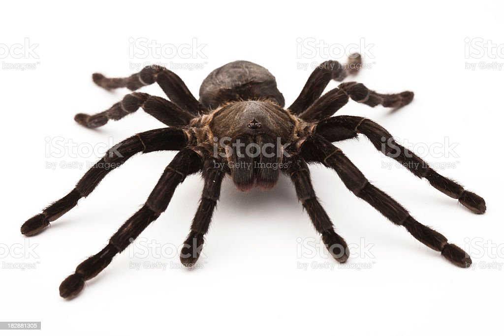 Close-up of a black tarantula over a white background stock photo