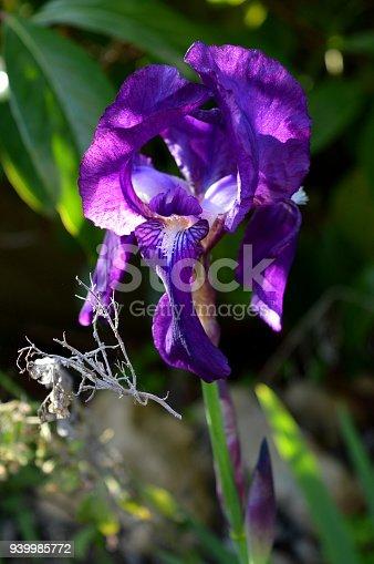 istock Close-up of a Blooming Purple Iris, Nature, Macro, Sicily 939985772