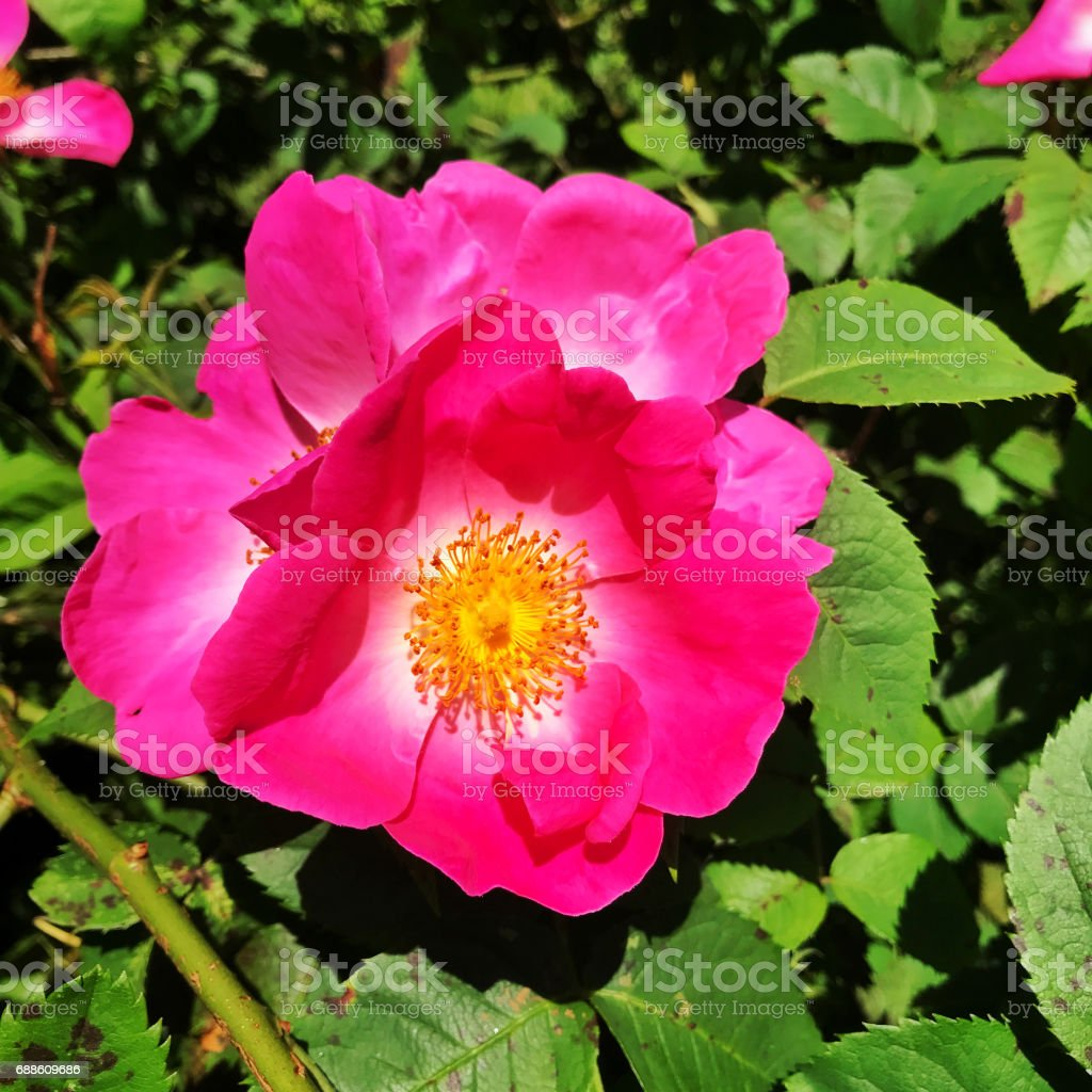 Close-up of a blooming Rosa Gallica flower ( French Rose ) stock photo