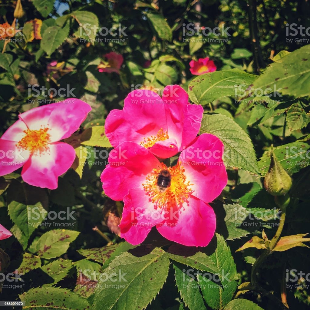 Close-up of a blooming Rosa Gallica flower ( French Rose ) with a bee inside stock photo