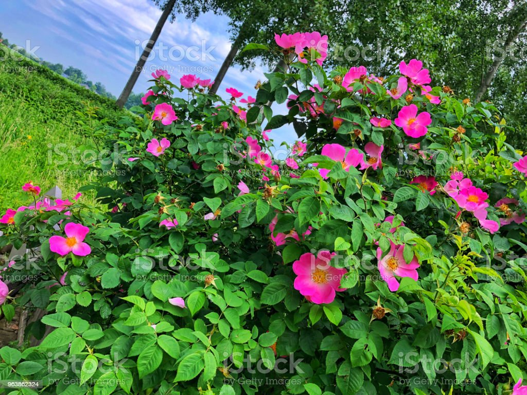 Close-up of a blooming Rosa Gallica shrub - Royalty-free Beauty Stock Photo