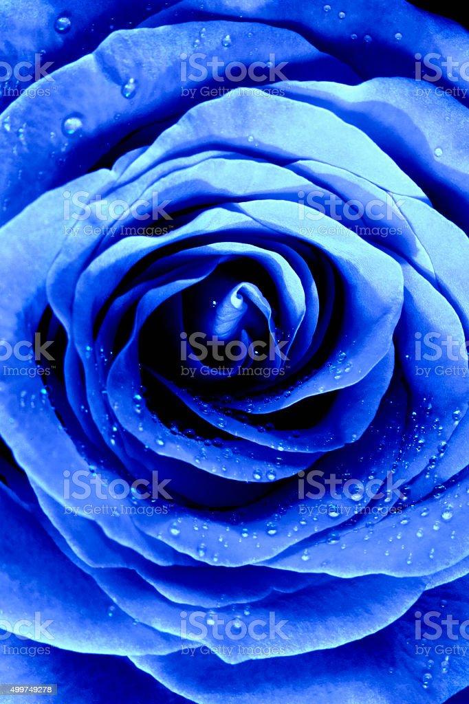 Closeup of a Blue Rose stock photo