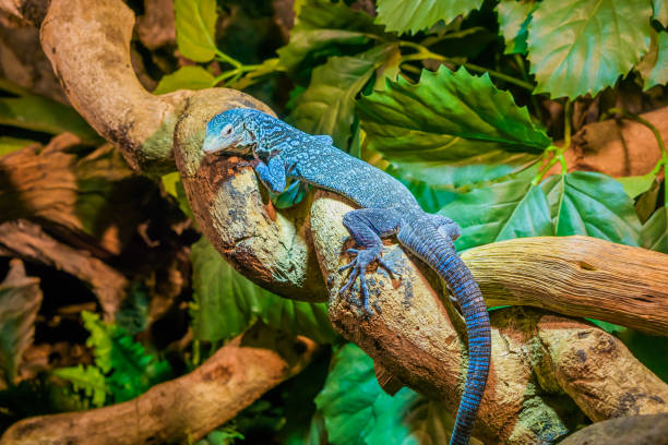 nahaufnahme eines blauen gefleckter baumwaran auf einem ast, vom aussterben bedrohte eidechse aus die insel nun in indonesien - seltene pflanzen stock-fotos und bilder