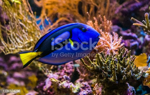 closeup of a blue tang surgeonfish, popular tropical aquarium pet, exotic fish from the pacific ocean