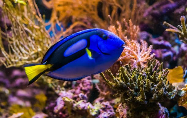 close up de um surgeonfish azul da espiga, animal de estimação tropical popular do aquário, peixes exóticos do oceano pacífico - organismo aquático - fotografias e filmes do acervo