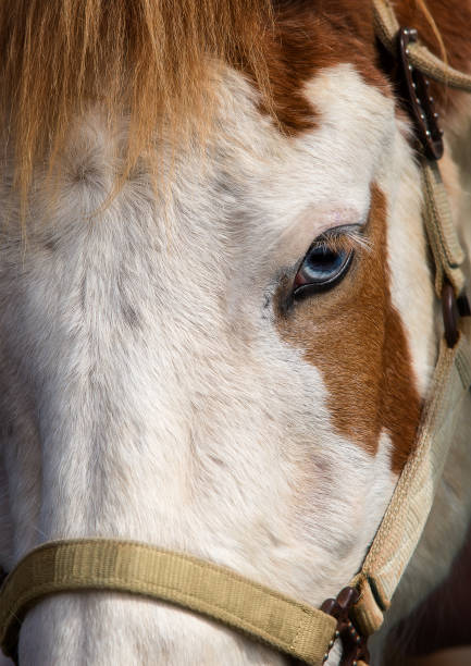close-up of a blue-eyed horse - horse bit stock photos and pictures