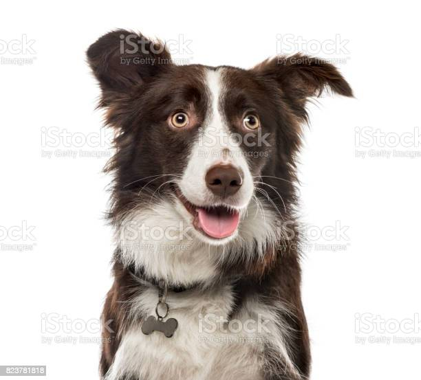 Closeup of a border collie 15 months ols isolated on white picture id823781818?b=1&k=6&m=823781818&s=612x612&h=qcsmoxksulz73mgyppw1nxfcevw9wo3mjapc a vtrs=