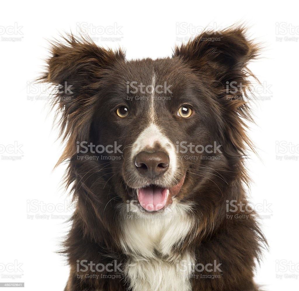 Close-up of a Border Collie panting, 9 months old stock photo