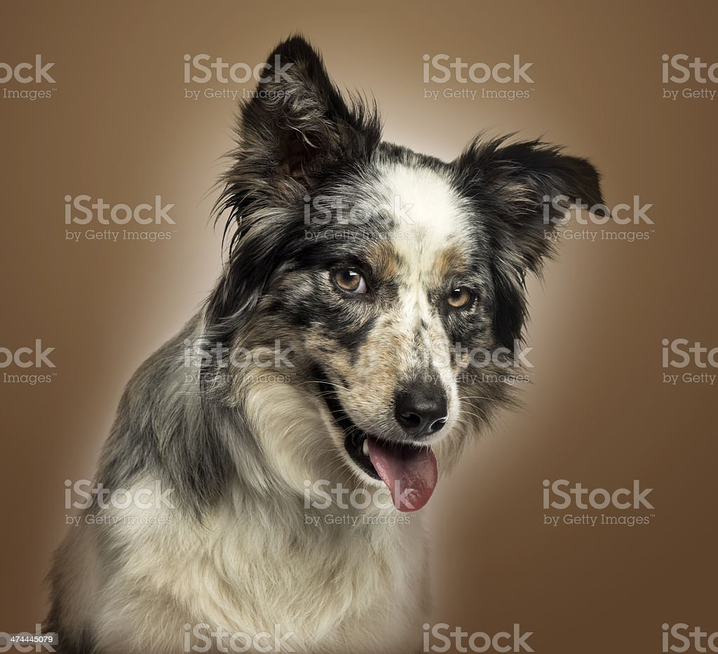 Close-up of a Border collie panting, with provocative look stock photo