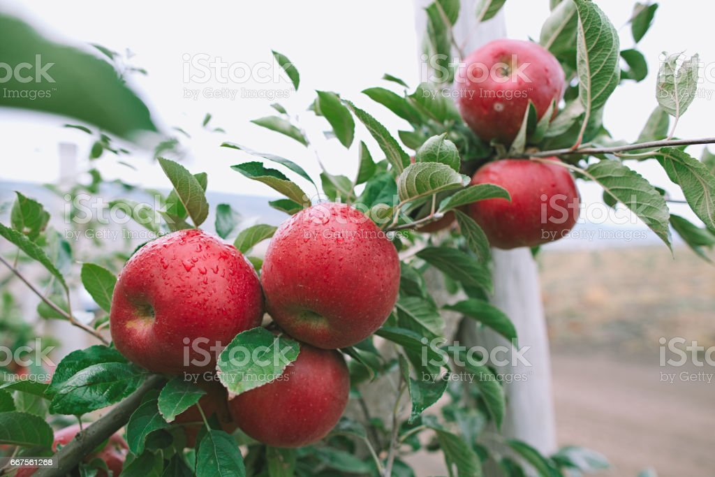 Closeup of a branch full of fresh red apples stock photo
