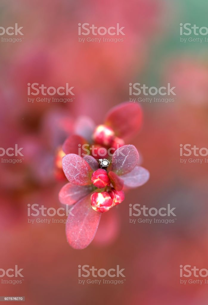Closeup of a branch of red european barberry Orange Rocket, short depth of focus stock photo