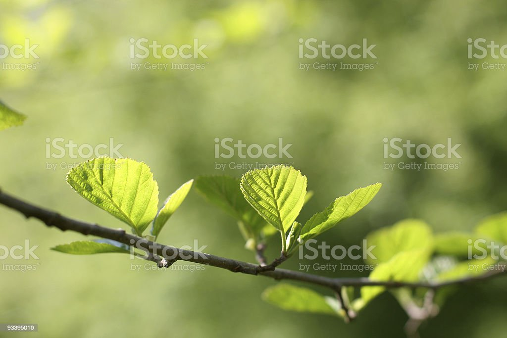 Close-up of a branch with 2 fresh leaves stock photo