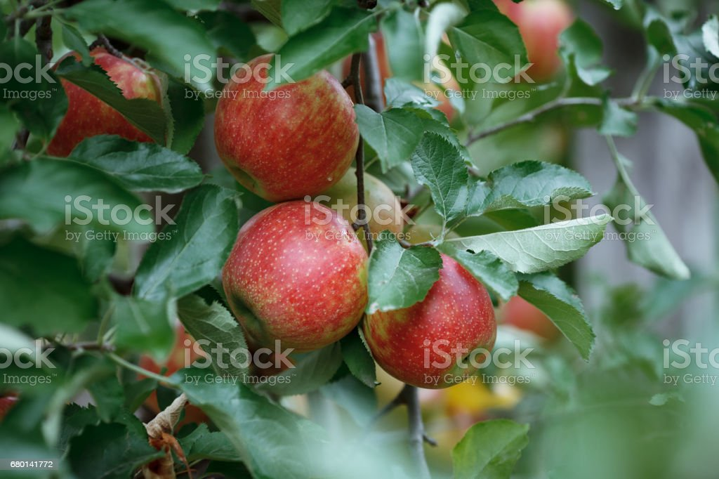 Closeup of a branch with fresh red apples stock photo