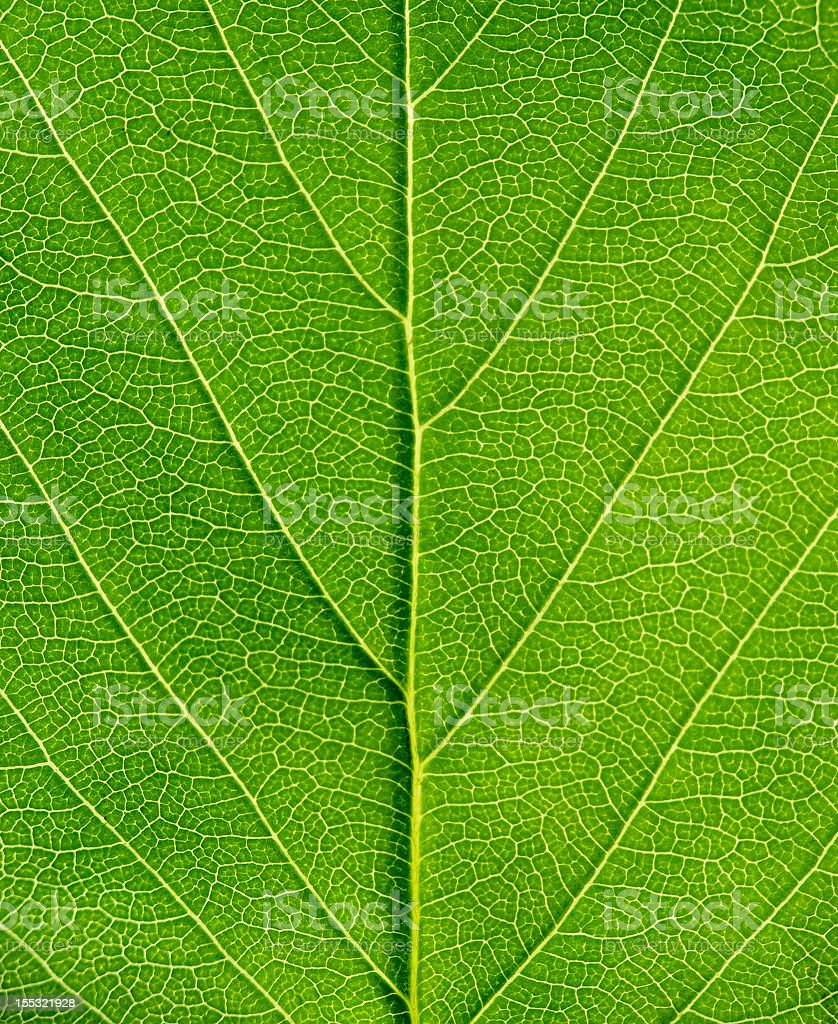Close-up of a bright green leaf royalty-free stock photo