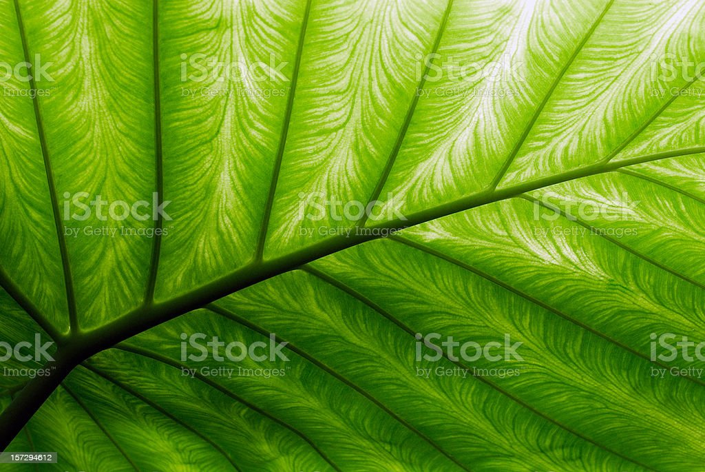Close-up of a bright green palm leaf royalty-free stock photo
