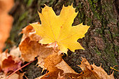 Beautiful autumnal scenery with a closeup of a bright yellow maple leaf lying on the bark at the foot of a tree together with other autumn leaves. Seen in October in Germany, Bavaria