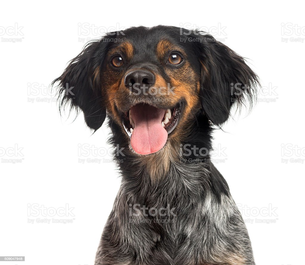 Close-up of a Brittany Spaniel stock photo