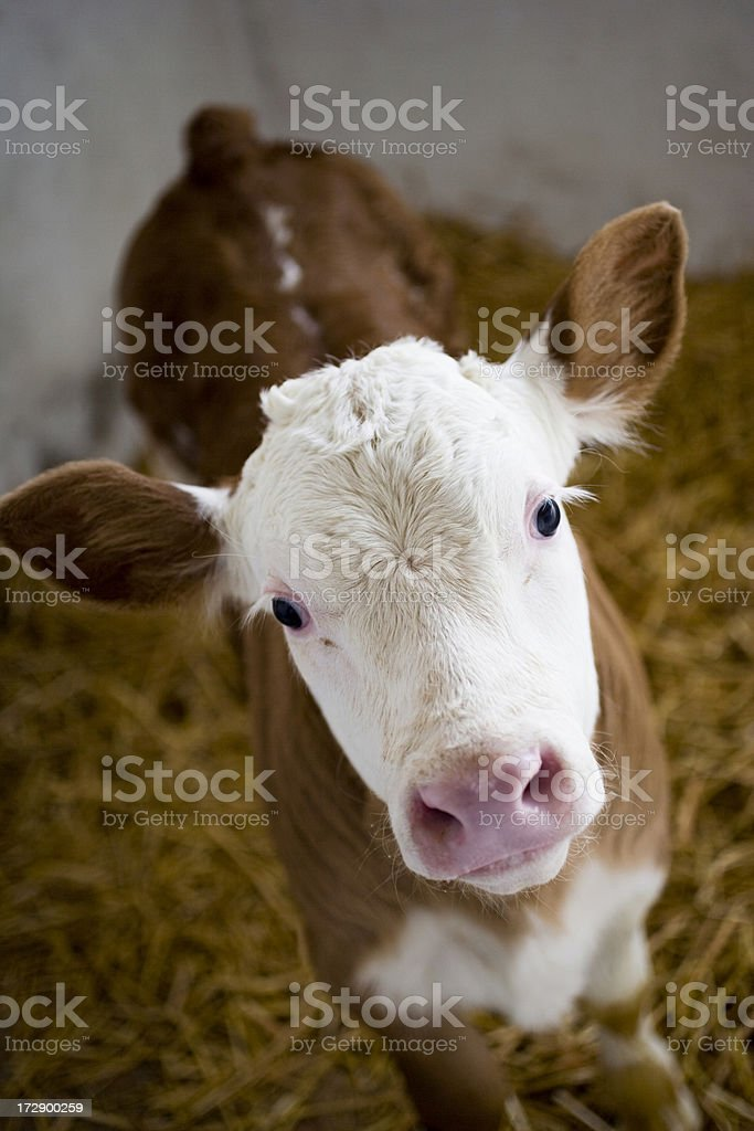 Close-up of a brown calf with white head royalty-free stock photo
