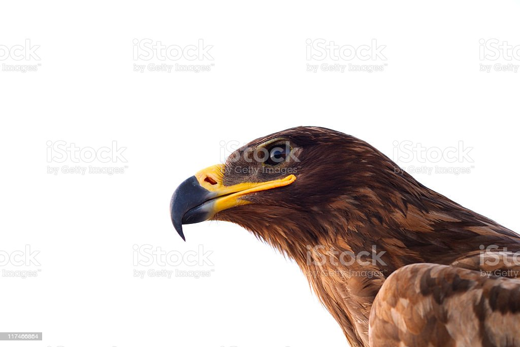 Closeup of a brown eagle over a white background royalty-free stock photo