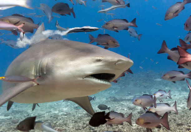 Close-up of a Bull Shark with Open Mouth Passing by Camera stock photo