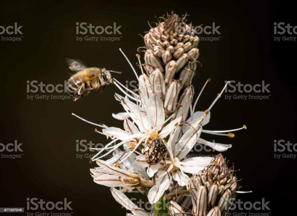 Closeup of a bumble bee approaching the white blossoms of Asphodelus stock photo