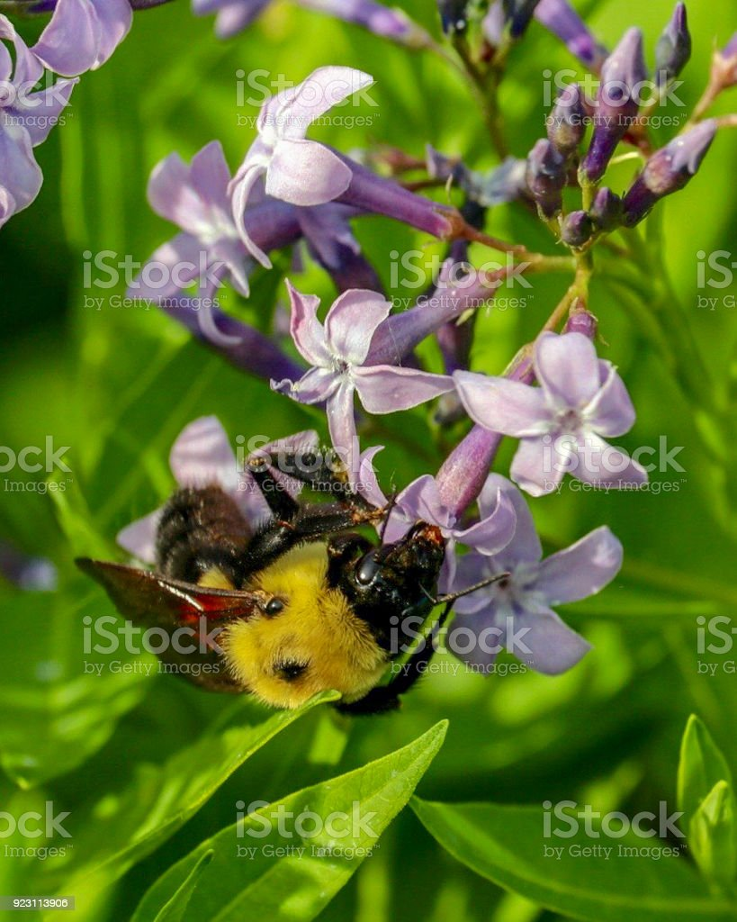 Closeup of a Bumble Bee on Lavender Flower stock photo