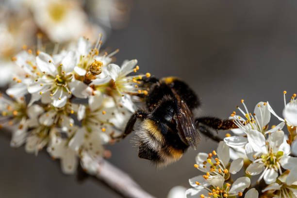 Closeup of a bumblebee sucking nectar from a flowering tree in picture id1275612162?b=1&k=6&m=1275612162&s=612x612&w=0&h=7fxe1mifsn1i4 le9dsbc8pg5dnwdobsqsgxfii0ybe=