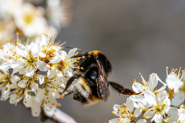 Closeup of a bumblebee sucking nectar from a flowering tree in picture id1275612741?b=1&k=6&m=1275612741&s=612x612&w=0&h=wvchn51hlspnuzrbeupwfnhucmiv0penfqsrbkjfkym=