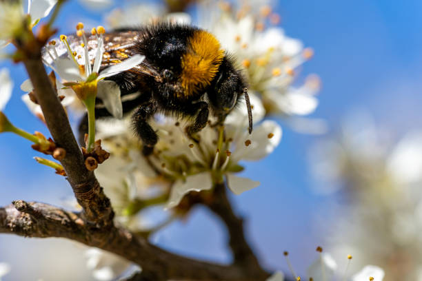 Closeup of a bumblebee sucking nectar from a flowering tree in picture id1275613023?b=1&k=6&m=1275613023&s=612x612&w=0&h= ox2acjcoeitq1eqatccgyedglmefgltk57sf6ruuii=